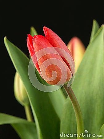 κόκκινη τουλίπα