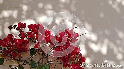Κόκκινο άνθος των εγκαταστάσεων γερανιών, αφρικανική χλωρίδα απόθεμα βίντεο