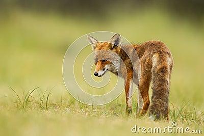 κόκκινο αλεπούδων