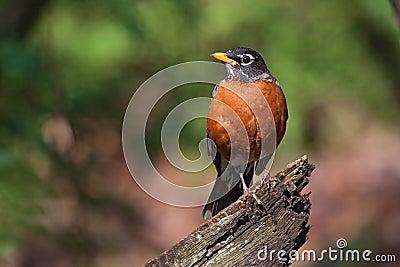 Κόκκινο στήθος της Robin