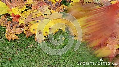 Κόκκινο raker τσουγκρανών δέντρων σφενδάμνου φθινοπώρου κινηματογραφήσεων σε πρώτο πλάνο ζωηρόχρωμο απόθεμα βίντεο