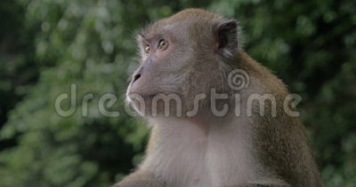 Κλείστε επάνω την άποψη Macaque στις σπηλιές Batu στο θολωμένο πράσινο υπόβαθρο Gombak, Selangor, Μαλαισία απόθεμα βίντεο
