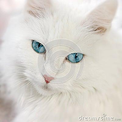 λευκό γατών