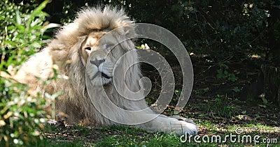 Λευκό Λιοντάρι, πάνθηρα λέων κρούγκενση, αρσενική ωοτοκία, πραγματικός χρόνος 4K απόθεμα βίντεο