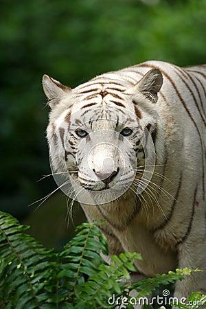 λευκό τιγρών