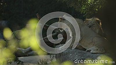 Λιοντάρια και λιοντάρια που ξεκουράζονται μεταξύ των συναθροίσεων, όμορφα αφρικανικά θηλαστικά, τυπική συμπεριφορά ζευγαρώματος λ φιλμ μικρού μήκους