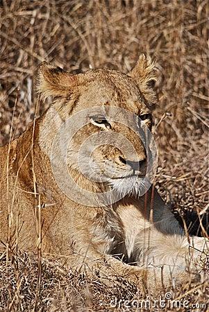 λιονταρίνα
