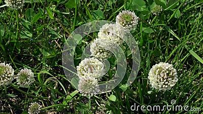 Λουλούδια άσπρου τριφυλλιού μεταξύ της χλόης απόθεμα βίντεο