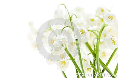 Λουλούδια κρίνος--ο-κοιλάδων στο λευκό