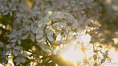 Λουλούδια του κερασιού πουλιών στις ακτίνες του φωτός του ήλιου απόθεμα βίντεο