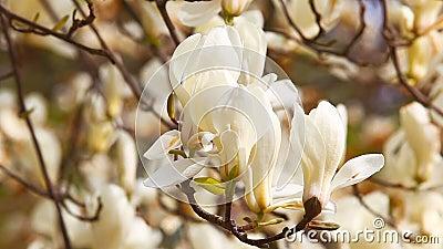 Λουλούδι Magnolia με τα άσπρα πέταλα φιλμ μικρού μήκους