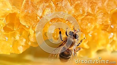 Μέλισσα που συλλέγει το μέλι και το νέκταρ απόθεμα βίντεο