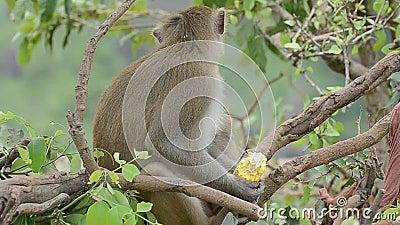 Μακάκος που τρώει το καλαμπόκι απόθεμα βίντεο
