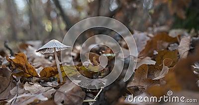 Μεγέθυνση Όμορφα μη βρώσιμα μανιτάρια σε ένα δάσος με ξηρά φύλλα Μανιτάρια κοντά σε ξηρά πεσμένα φύλλα το φθινόπωρο φιλμ μικρού μήκους