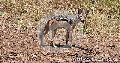 Με μαύρη ράχη Jackal, mesomelas canis, ενήλικη στάση στο ίχνος, πάρκο του Ναϊρόμπι στην Κένυα, πραγματική - χρόνος απόθεμα βίντεο