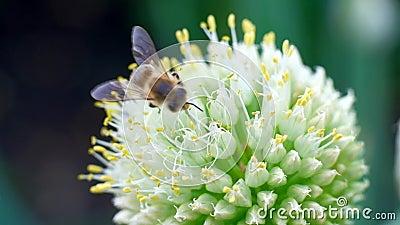 Μια μέλισσα μελιού που συλλέγει τη γύρη νέκταρ με το λουλούδι την ηλιόλουστη ημέρα άνοιξη φιλμ μικρού μήκους