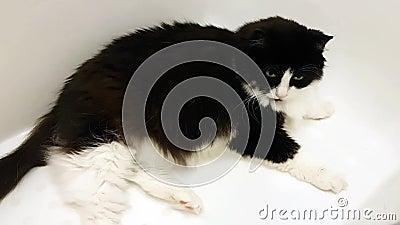 Μια μεγάλη ενήλικη γάτα βρίσκεται σε ένα λευκό σαν το χιόνι λουτρό Κοιτάζει γύρω με την περιέργεια απόθεμα βίντεο