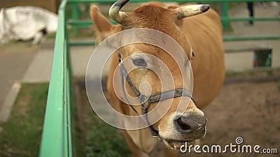 Μια μεγάλη καφέ αγελάδα μασά γρασίδι από ένα ταΐστρα σε φθινοπωρινή πένα βοοειδών απόθεμα βίντεο
