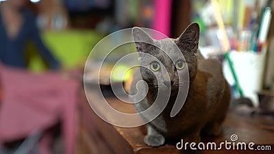Μια όμορφη γκρίζα γάτα κοιτάζει την κάμερα με ενδιαφέρον Αργή κίνηση φιλμ μικρού μήκους