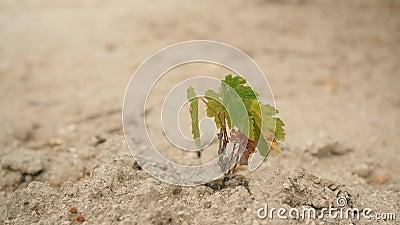 Μικρή ανάπτυξη εγκαταστάσεων στο ξηρό χώμα άμμου 4K απόθεμα βίντεο