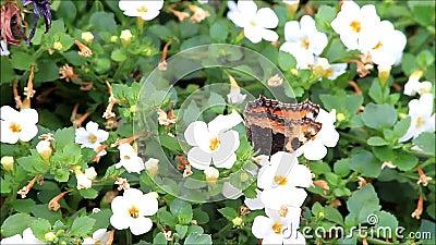 Μικρή ταρταρούγα πεταλούδων στο άσπρο λουλούδι bacota απόθεμα βίντεο