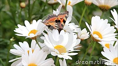 Μικρή ταρταρούγα πεταλούδων marguerite στο λουλούδι φιλμ μικρού μήκους