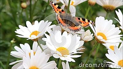 Μικρή ταρταρούγα πεταλούδων marguerite απόθεμα βίντεο