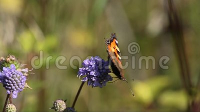Μικρή ταρταρούγα πεταλούδων (urticae Aglais, urticae Nymphalis) απόθεμα βίντεο