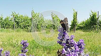 Μικρή ταρταρούγα lavender απόθεμα βίντεο