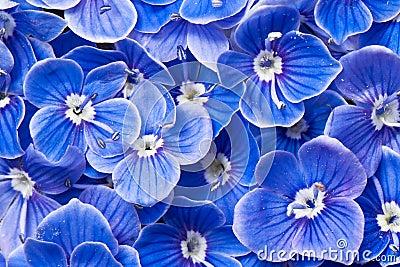 μπλε λουλούδια