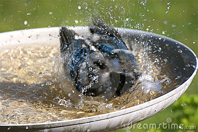 μπλε jay λήψη πουλιών λουτρώ&