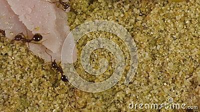 Μυρμήγκια σε Formicarium απόθεμα βίντεο