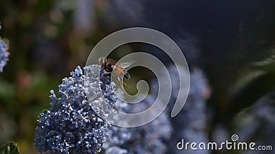 Μύγα κηφήνων, eristalis SP , Adut κατά την πτήση, λουλούδι στη Νορμανδία φιλμ μικρού μήκους