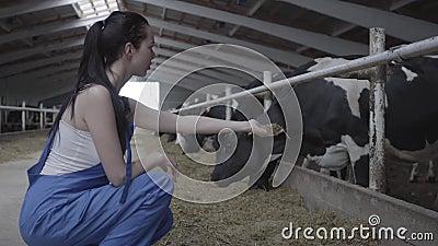 Νέα θετική γυναίκα εργαζόμενος στο αγρόκτημα αγελάδων που προσπαθεί να ταΐσει το θηλαστικό με το χέρι Η βιομηχανία γεωργίας, που  απόθεμα βίντεο