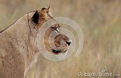 να κοιτάξει επίμονα λιονταρινών