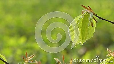 Νεαρά φύλλα οξιάς την άνοιξη απόθεμα βίντεο