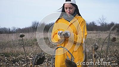 Νεαρές αγρότισσες στέκονται σε καλαμποκιές κατά τη συγκομιδή Το κορίτσι παίρνει ώριμο καλαμπόκι για να ελέγξει την ποιότητα Καλλι φιλμ μικρού μήκους