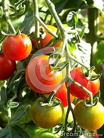 Ντομάτες 11
