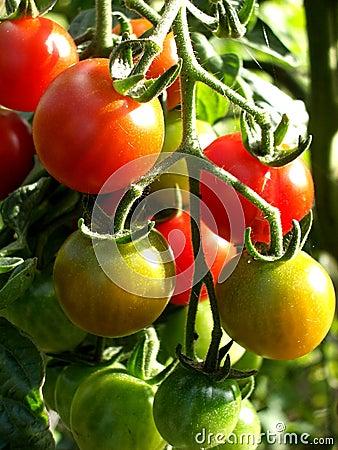 Ντομάτες 14