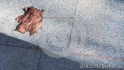 Ξεράνετε την καφετιά κίνηση φύλλων σφενδάμου γλιστρώντας σε ένα πεζοδρόμιο πετρών στον ήλιο, διάστημα αντιγράφων φιλμ μικρού μήκους