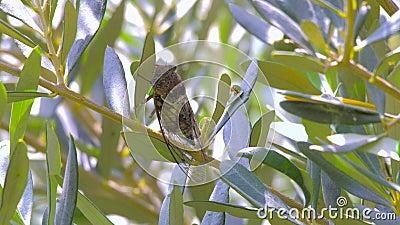 Οικογένεια Cicadidae εντόμων cicadas Cicadidae στον κορμό δέντρων Χλωρίδα της Ευρώπης Μικρά cicadidae Μακρο στενός επάνω φιλμ μικρού μήκους