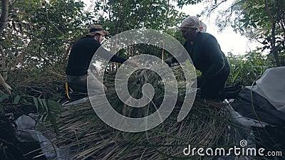 Οι άνδρες γεμίζουν το σανό στη ζούγκλα απόθεμα βίντεο