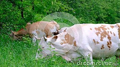 Οι αγελάδες των διαφορετικών χρωμάτων βόσκουν μόνοι τους στο λιβάδι και τρώνε τη χλόη και τα φύλλα από τα δέντρα r Η λιβελλούλη κ απόθεμα βίντεο
