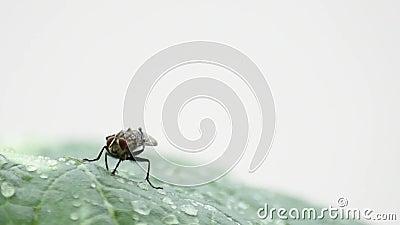 Οι μύγες καθαρίζουν τα πόδια και τα φτερά σας στα φύλλα με τα σταγονίδια νερού της βροχής απόθεμα βίντεο