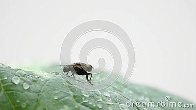 Οι μύγες καθαρίζουν τα πόδια και τα φτερά σας στα φύλλα με τα σταγονίδια νερού της βροχής φιλμ μικρού μήκους