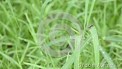 Οι μύγες στη χλόη με τα σταγονίδια νερού της βροχής απόθεμα βίντεο