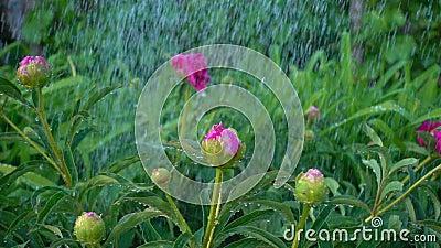Οι οφθαλμοί των peonies φαίνονται όμορφοι στα σταγονίδια νερού Το Peony Μπους πότισε με το καθαρό νερό στον κήπο, αργό απόθεμα βίντεο