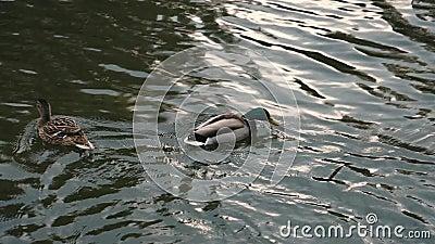 Οι πάπιες επιπλέουν στο νερό στο πάρκο και πετούν κοινά βίντεο με άγρια πτηνά, μοδάτο καιρό του καιρού, φυσικός θορυβώδης ήχος το απόθεμα βίντεο