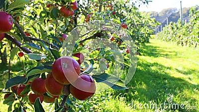 Οργανικά κόκκινα μήλα στον οπωρώνα μήλων