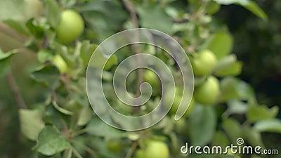 Οργανικό δέντρο μηλιάς Βαριά φορτωμένος με unripe Πράσινος καρπός Ανάπτυξη σε έναν ιδιωτικό οπωρώνα απόθεμα βίντεο